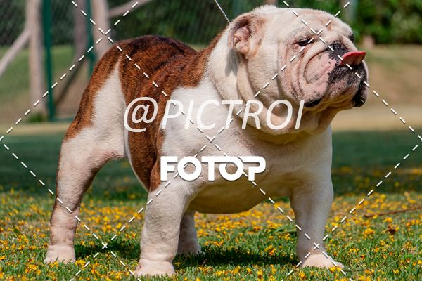 Buy your photos at this event CANIL LUA NOVA BULDOGS on Fotop